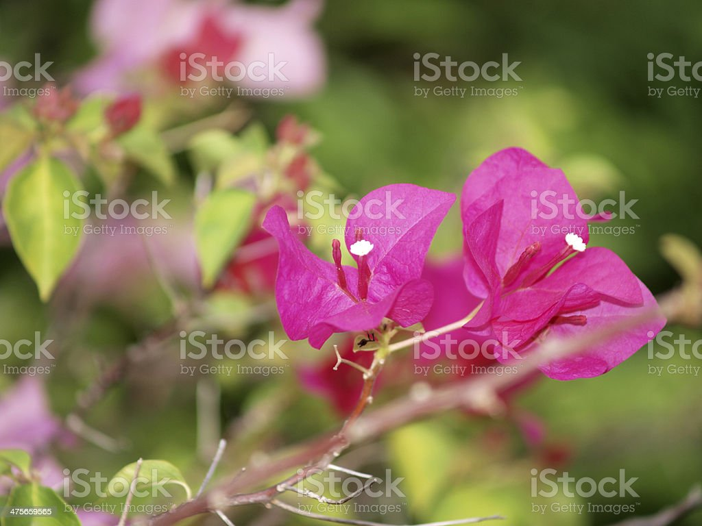 Horizontal image of bright pink Bougainvillea stock photo