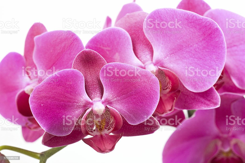 horizontal orchid (close up) royalty-free stock photo