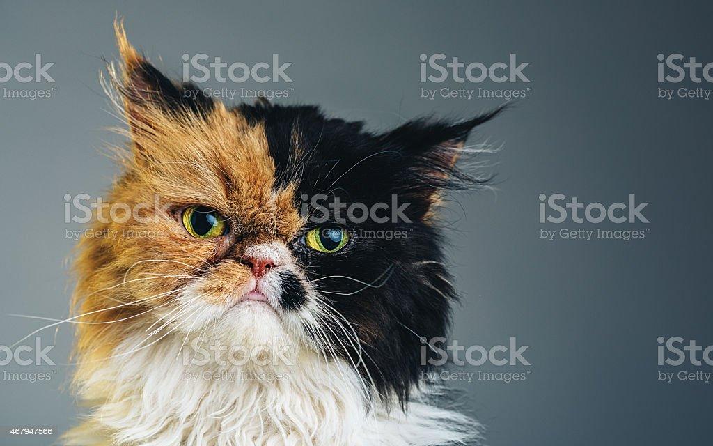 Horizontal Portrait of a Persian Cat stock photo