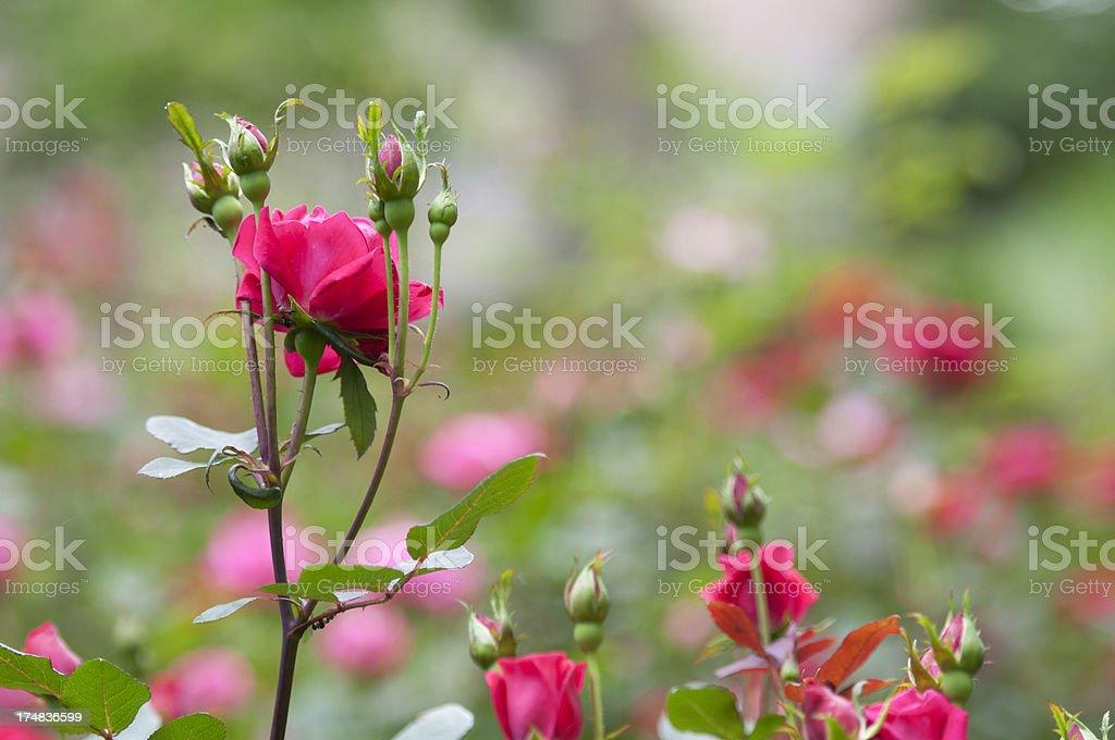 Horizontal Rose garden royalty-free stock photo
