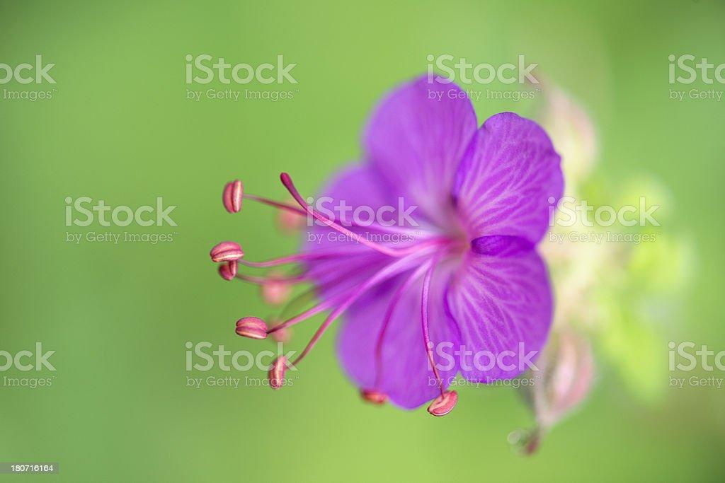 horizontal small delicate purple perennial geranium flower. royalty-free stock photo