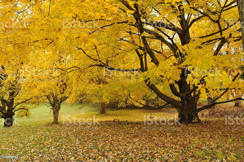 Horizontal view of an autumn trees in a peak color royalty-free stock photo
