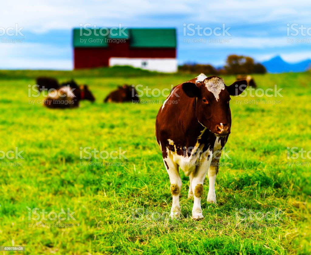 Horizontal vivid Norwegian cow on the field background backdrop stock photo