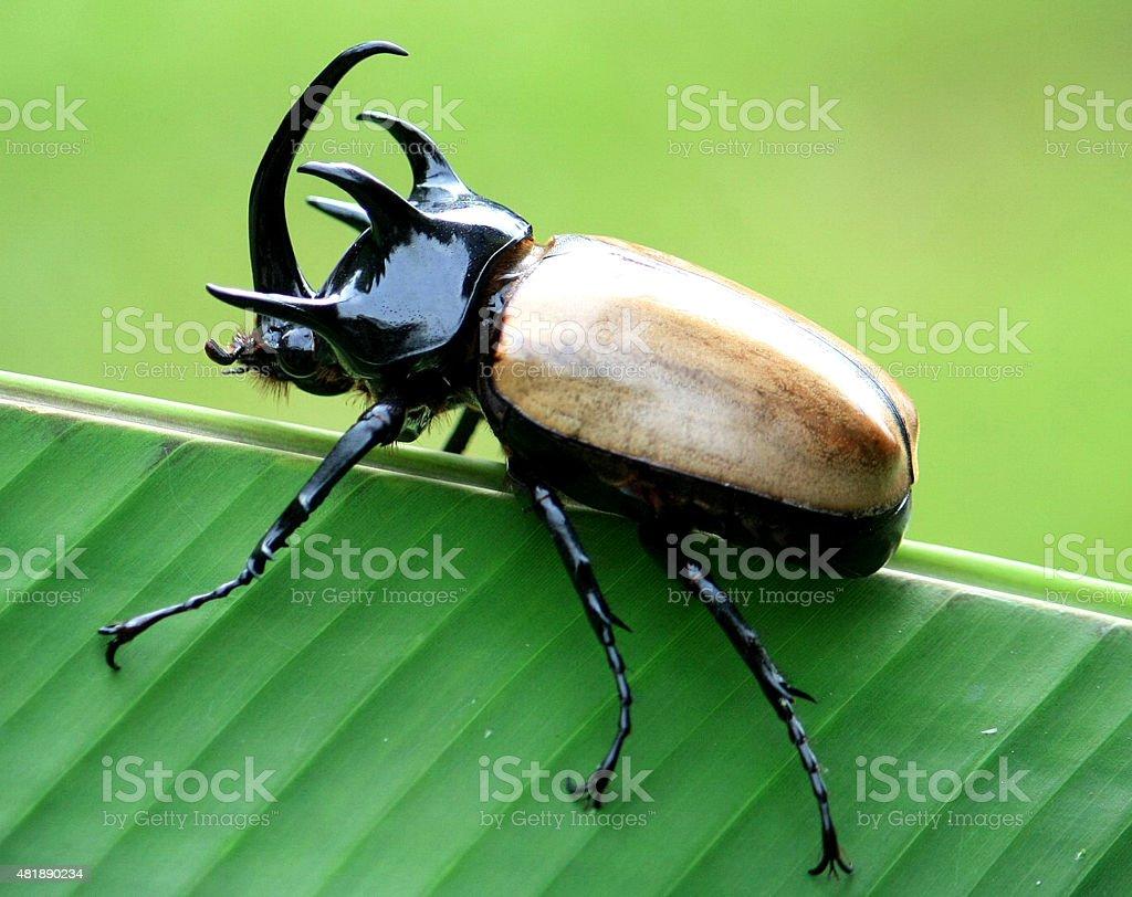 Horn beetle stock photo