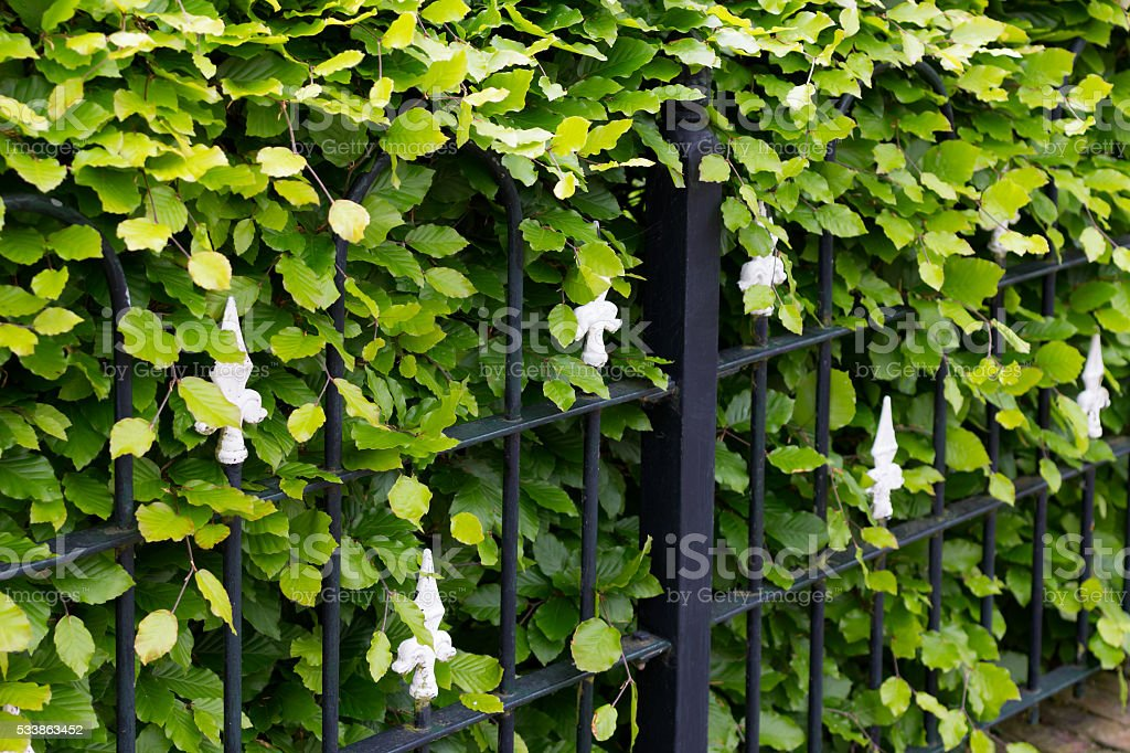 Hornbeam and wrought iron fence stock photo