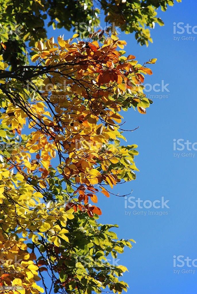 Hornbeam hedge royalty-free stock photo