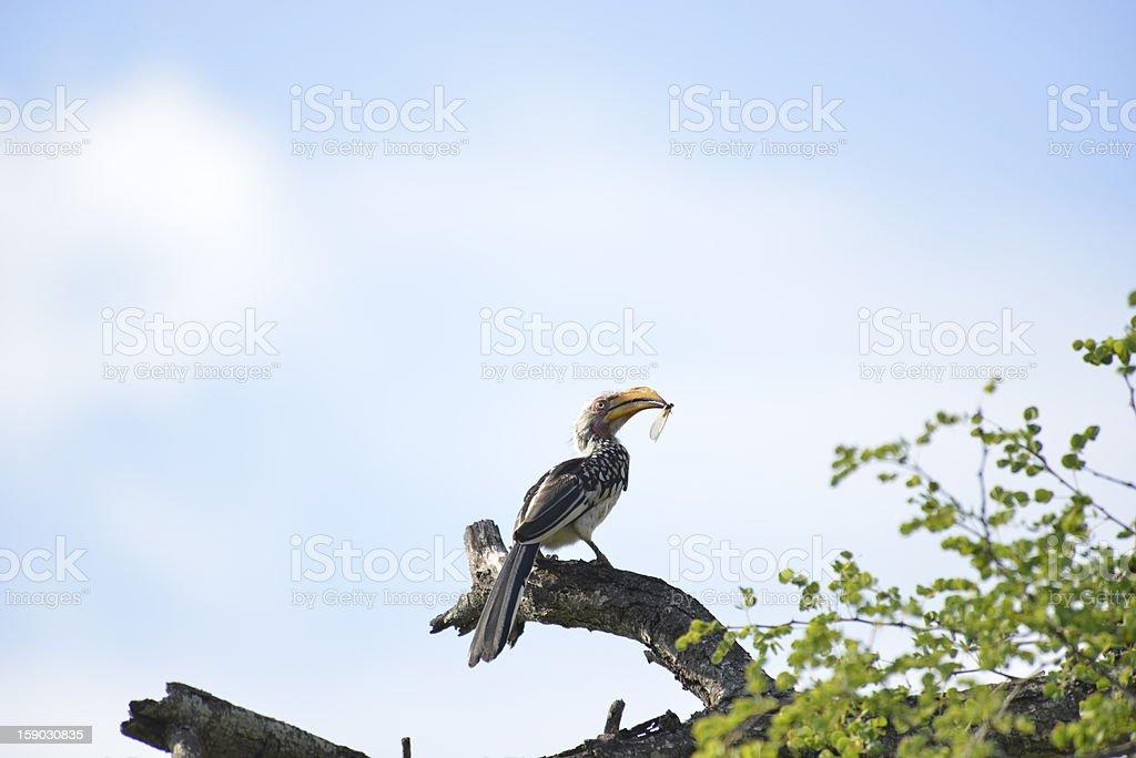 Hornbill Having Lunch stock photo