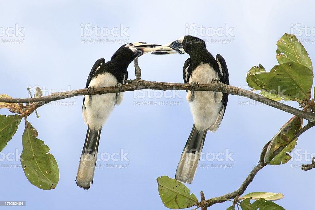 hornbill kisses stock photo