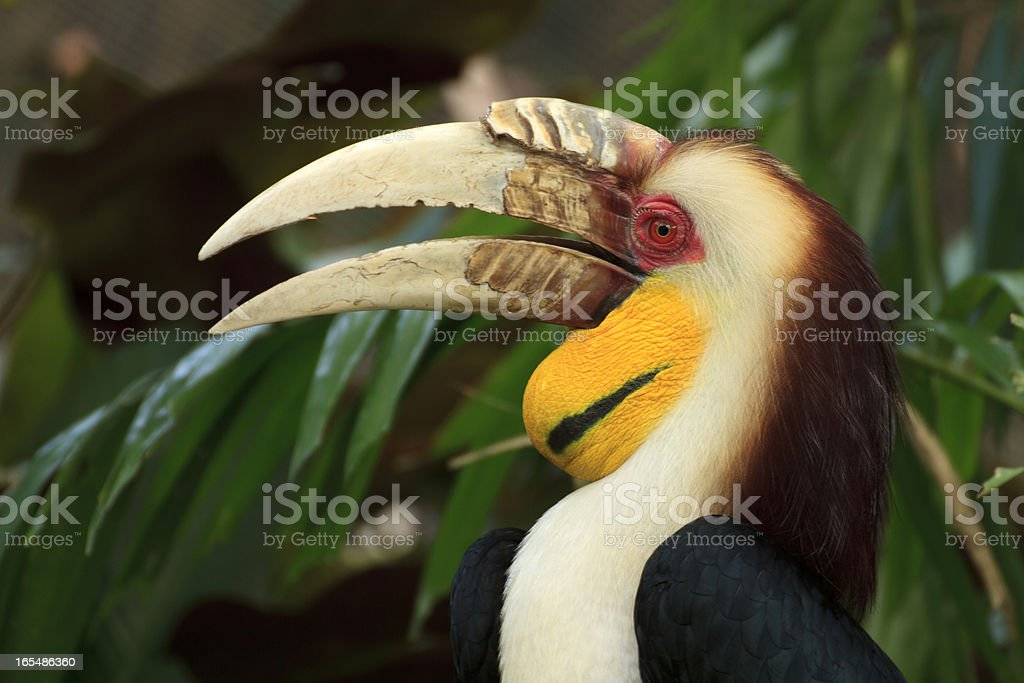Hornbill royalty-free stock photo