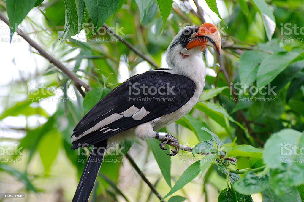 Hornbill sitting in tree royalty-free stock photo