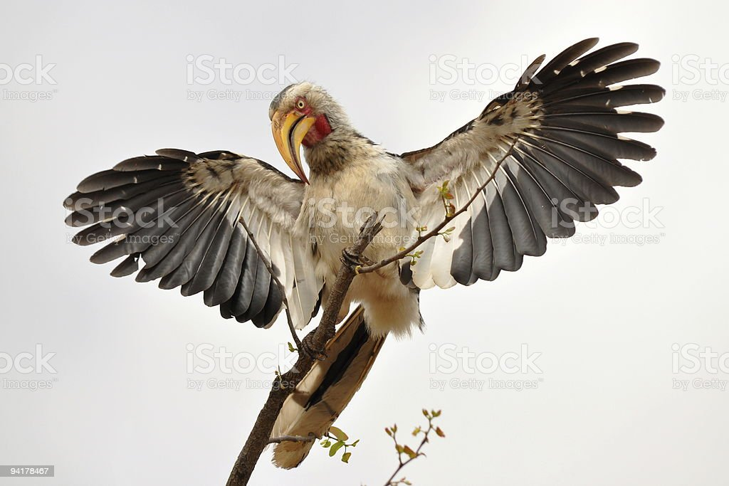 hornbill spread its wings royalty-free stock photo