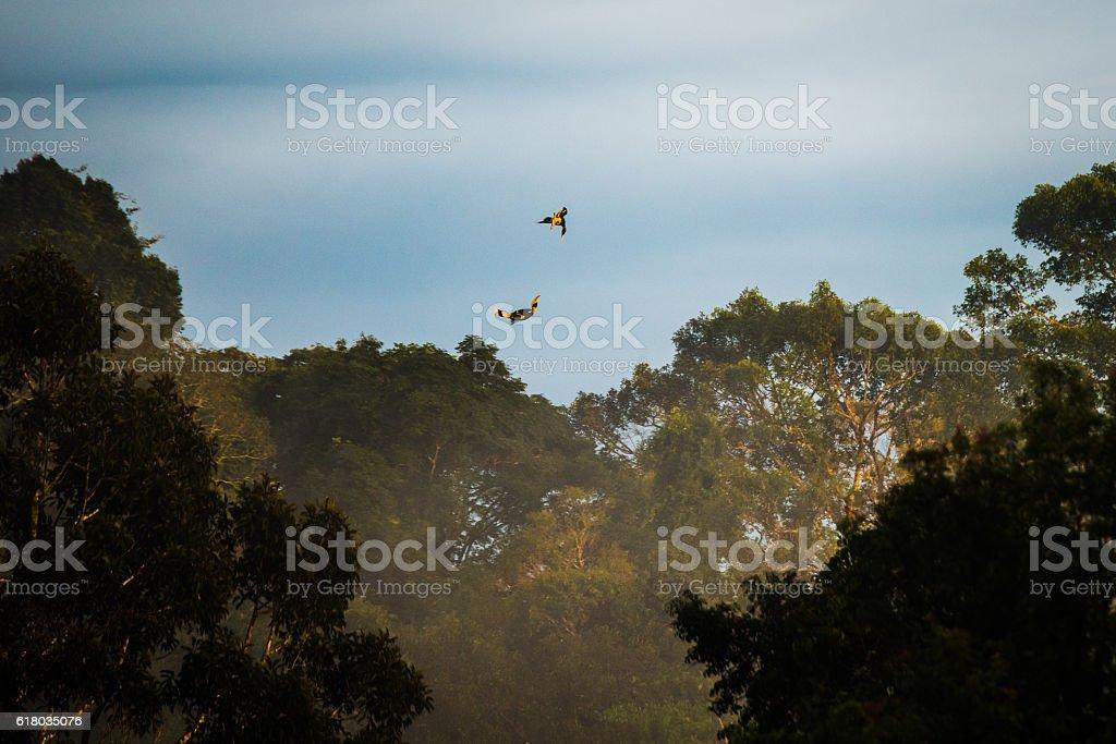Hornbills flying in rain forest stock photo