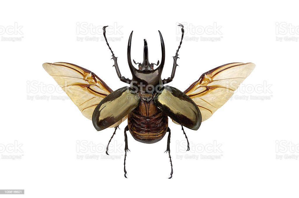 Horned beetle royalty-free stock photo