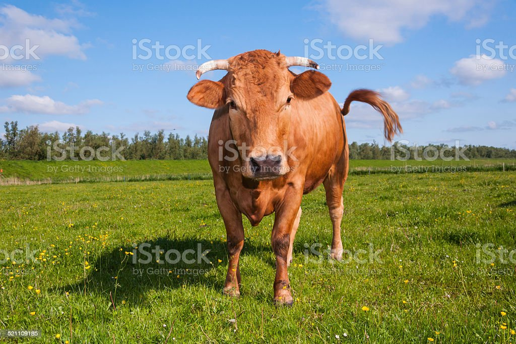 Horned brown cow is wagging her tail stock photo