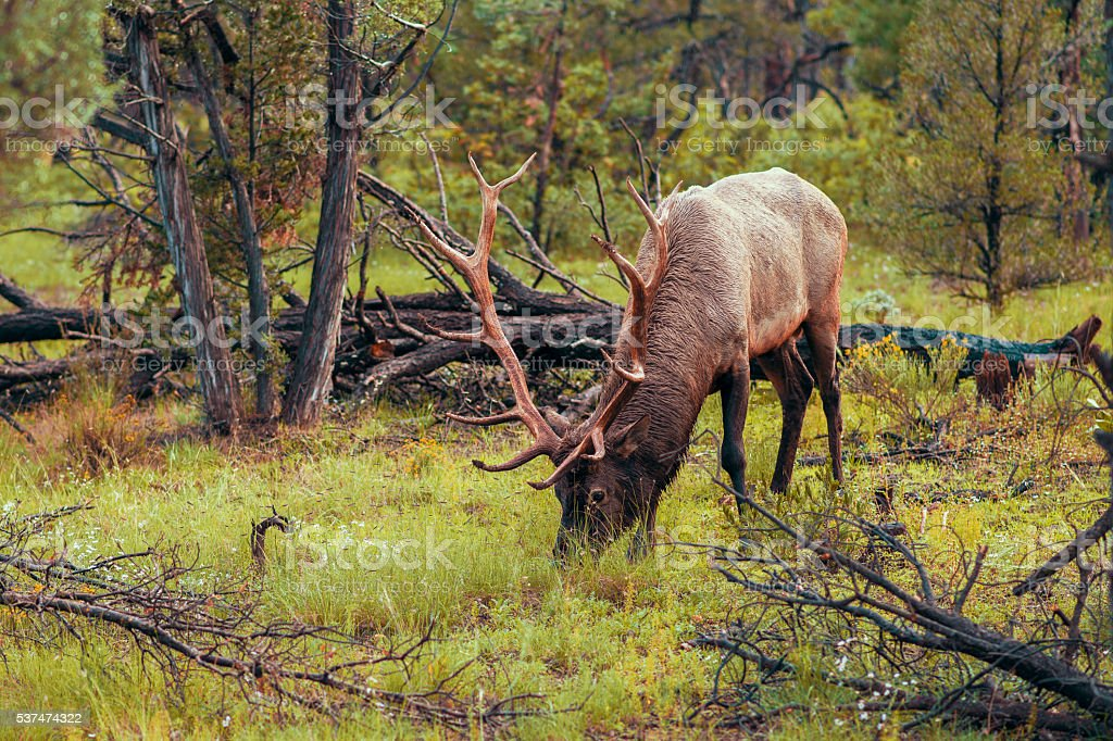 Horned deer eating grass in the forest stock photo
