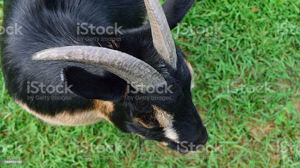 Horned Dwarf Goat from Above stock photo