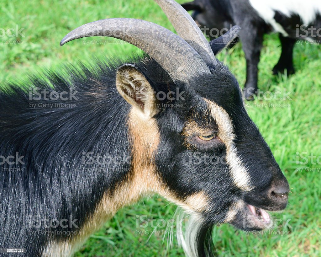 Horned Dwarf Goat Portrait stock photo