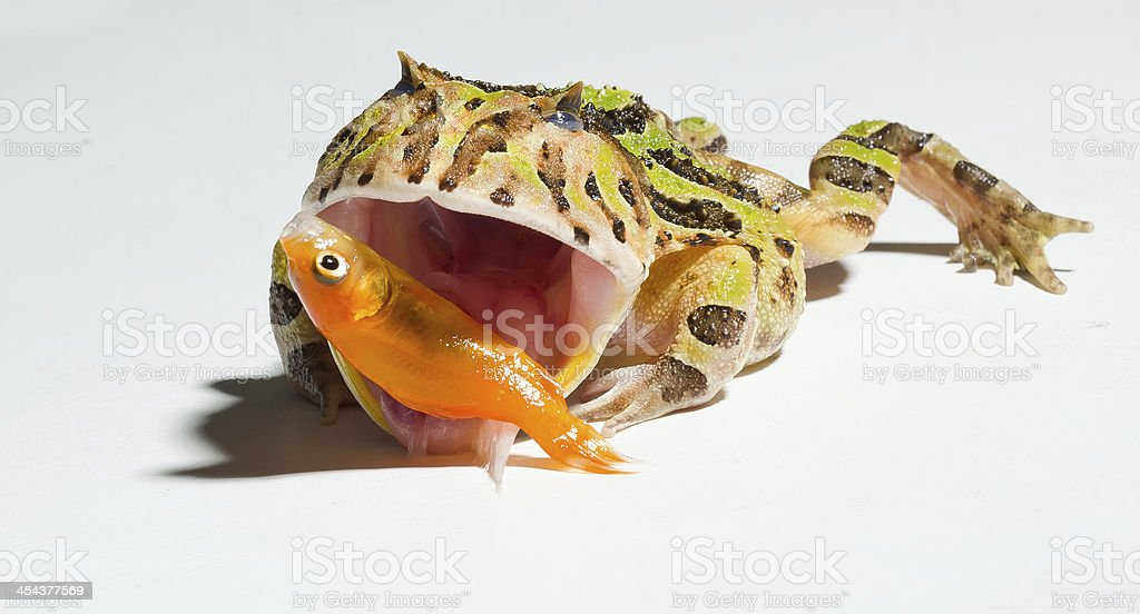 horned frog hunting a small fish stock photo