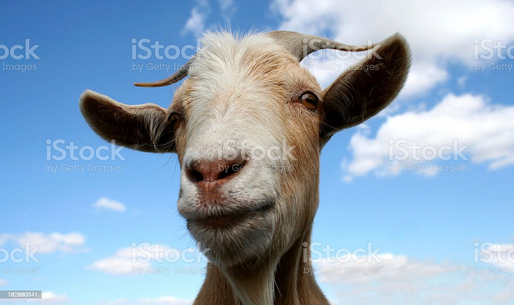 Horned goat against a blue sky royalty-free stock photo
