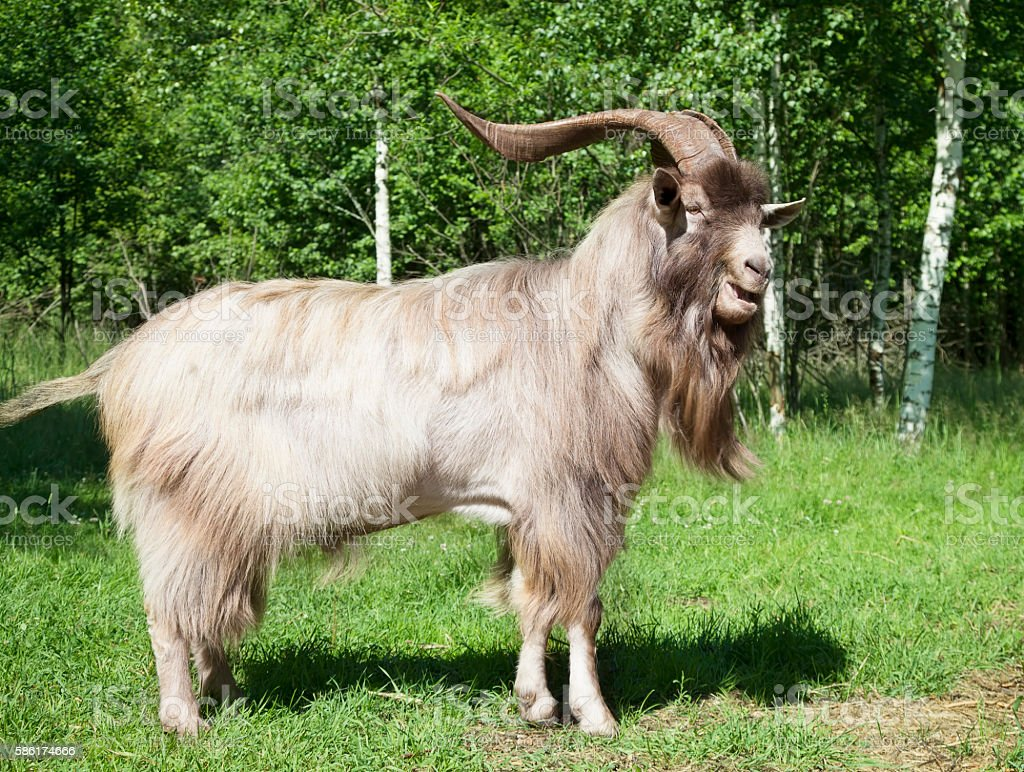 Horned goat outdoors stock photo