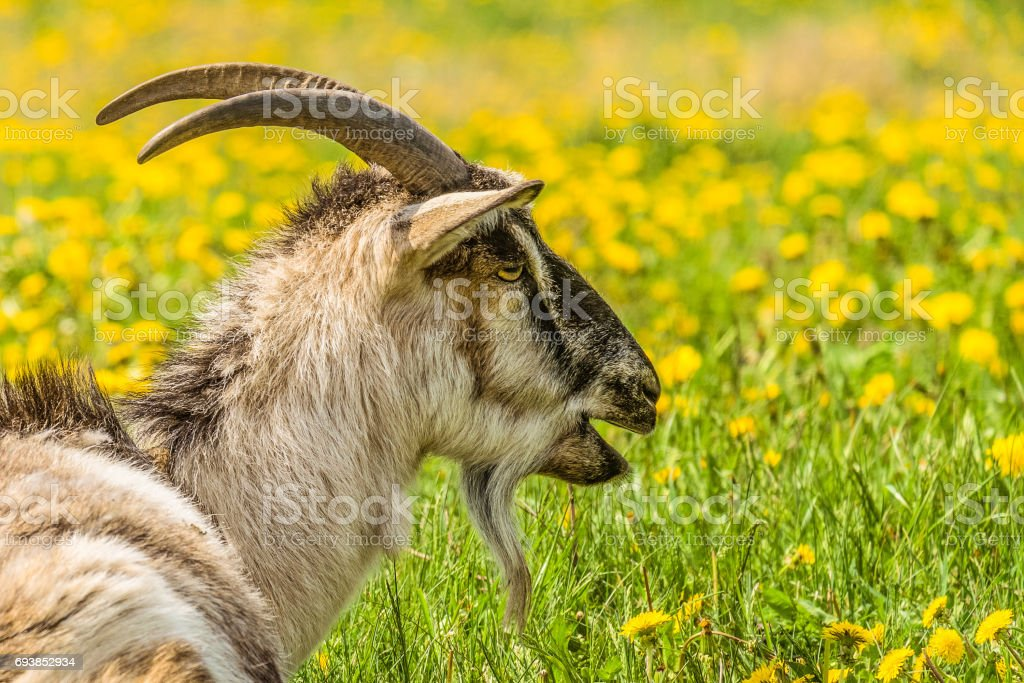 Horned goat. Portrait in profile of a bleating goat. stock photo