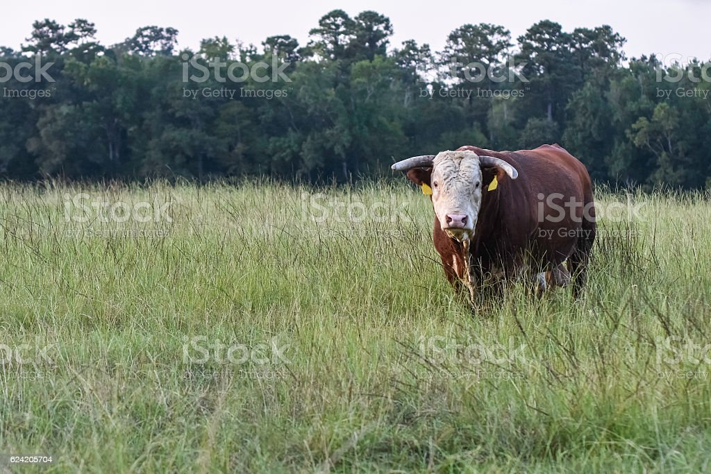 Horned Hereford Bull standing in a pasture stock photo