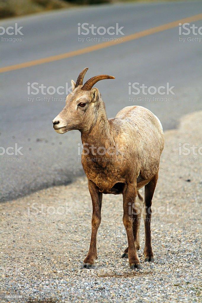 Horned in Banff stock photo