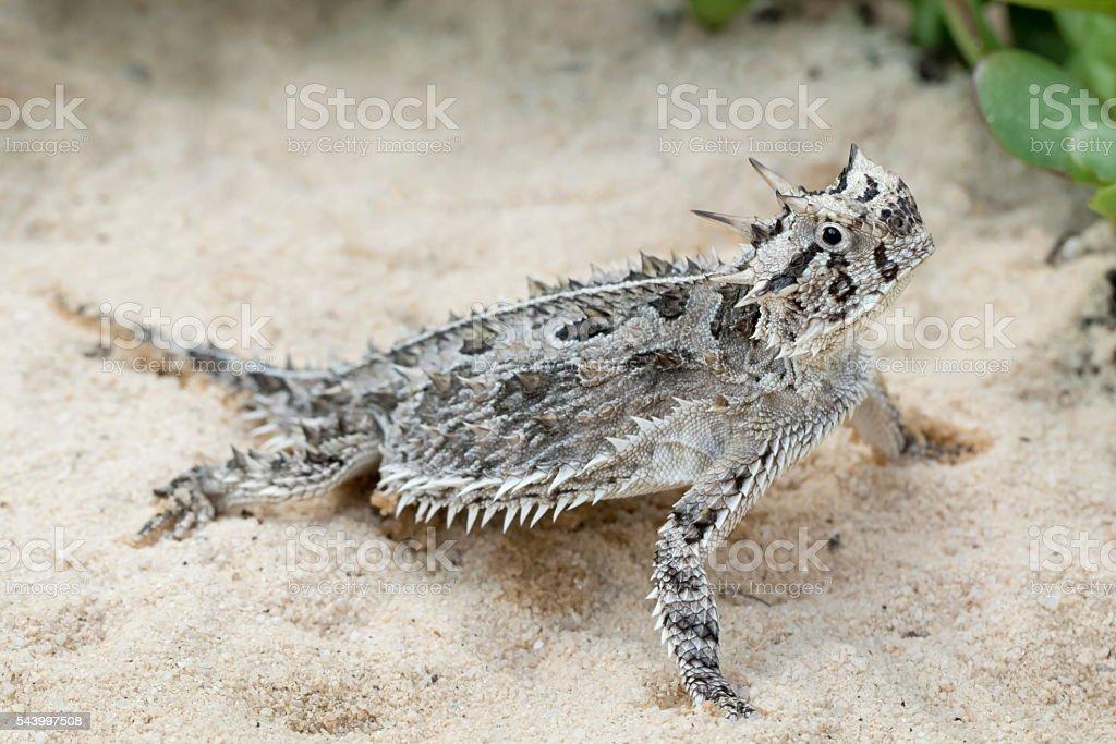 Horned Lizard (Toad) - in Desert stock photo