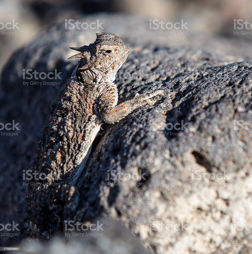 Horned Lizard in the Nevada Desert stock photo