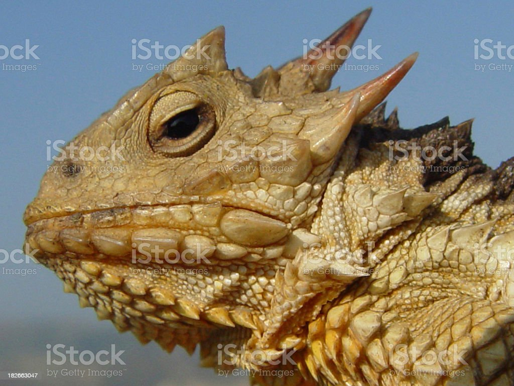 Horned Lizard royalty-free stock photo