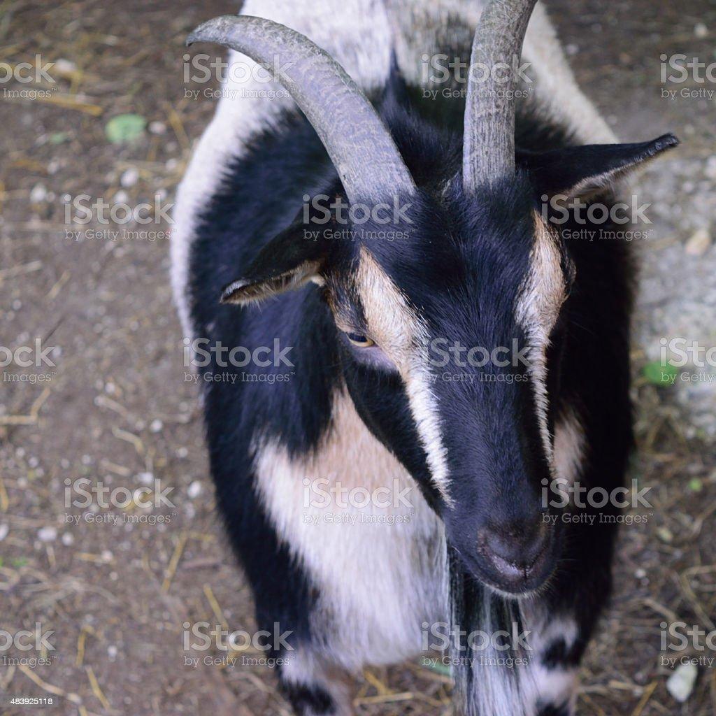Horned Nigerian Dwarf Goat stock photo