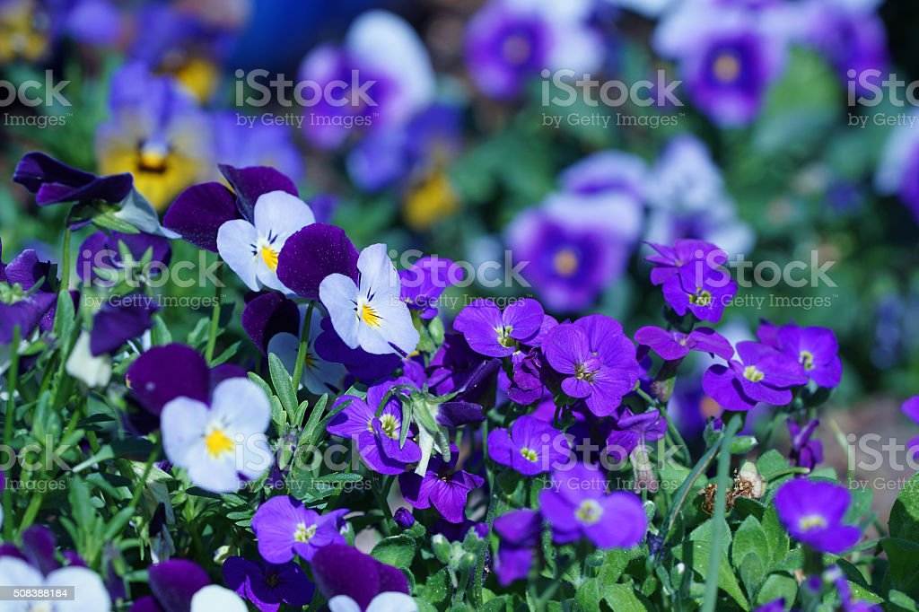 Horned pansies and purple rock cress stock photo