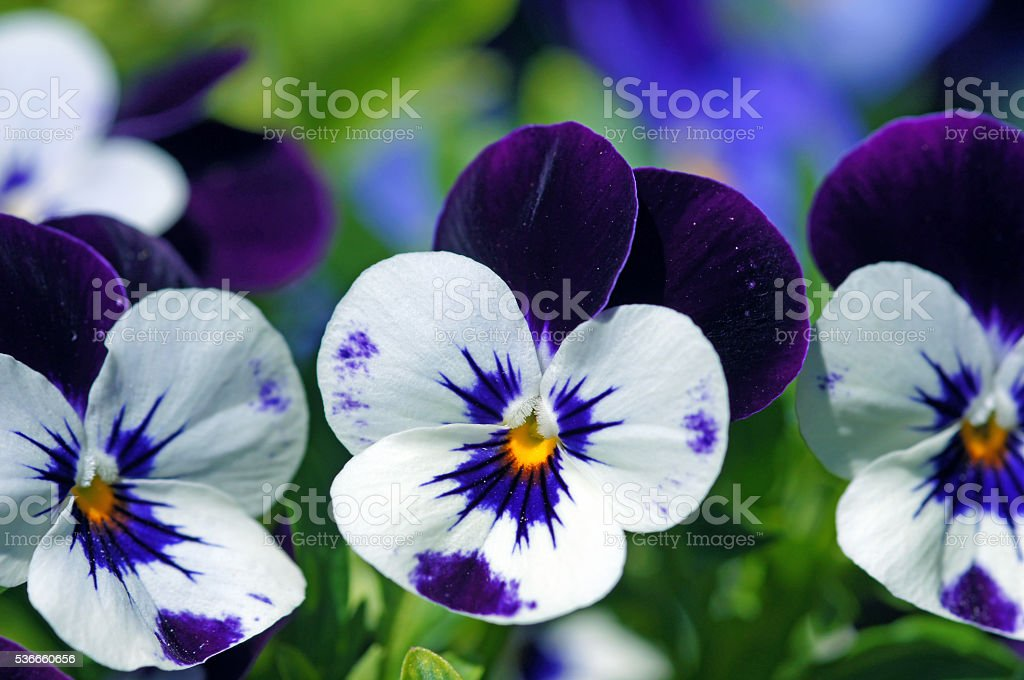 Horned pansies stock photo