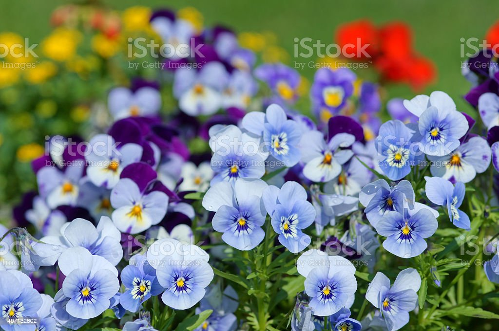 Horned pansy stock photo
