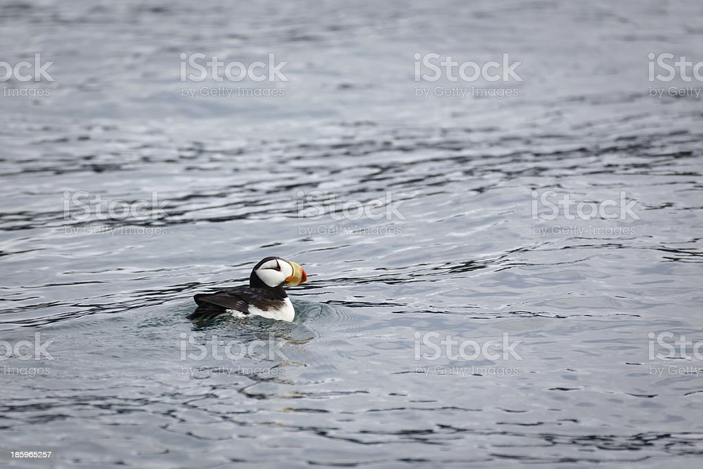 Horned Puffin, a pelagic seabird, swimming close by Alaskan waters stock photo