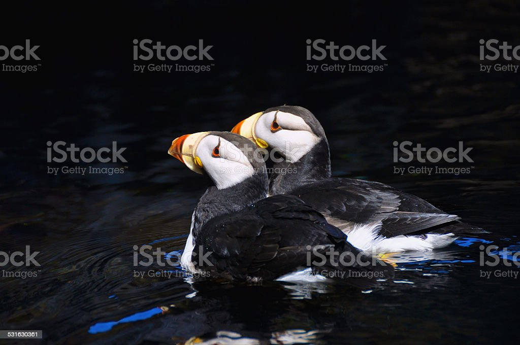 Horned Puffins Side by Side stock photo