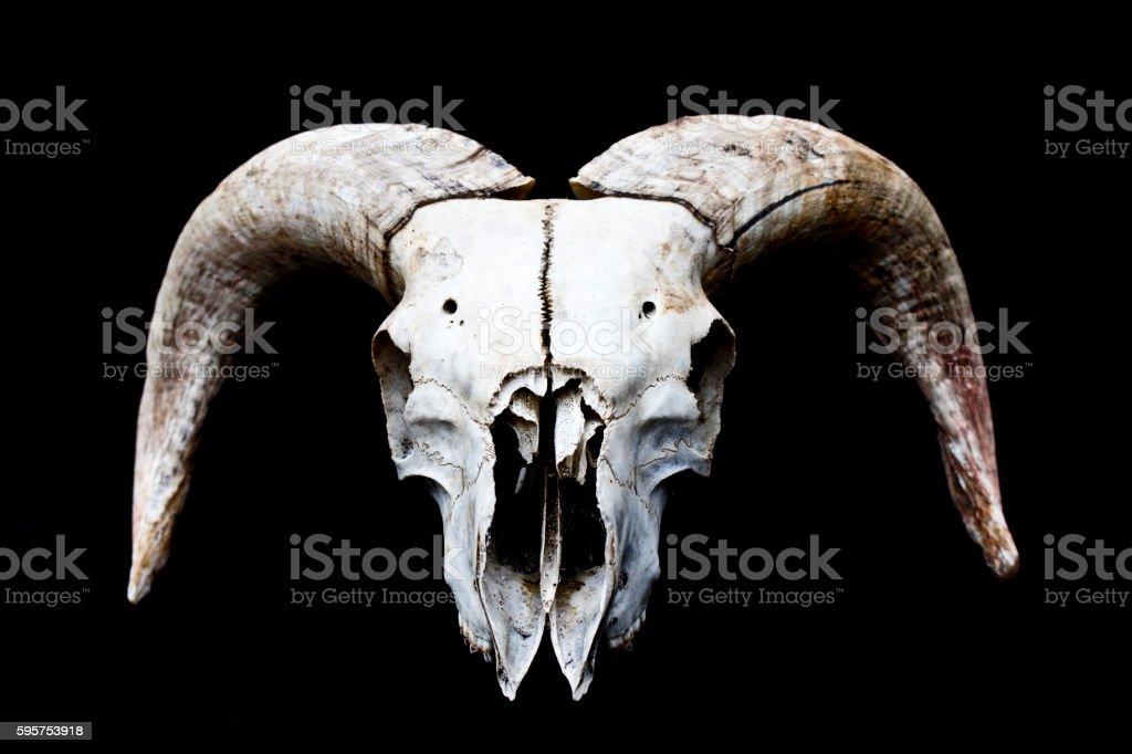 Horned Ram Sheep Skull on Black Black Background stock photo