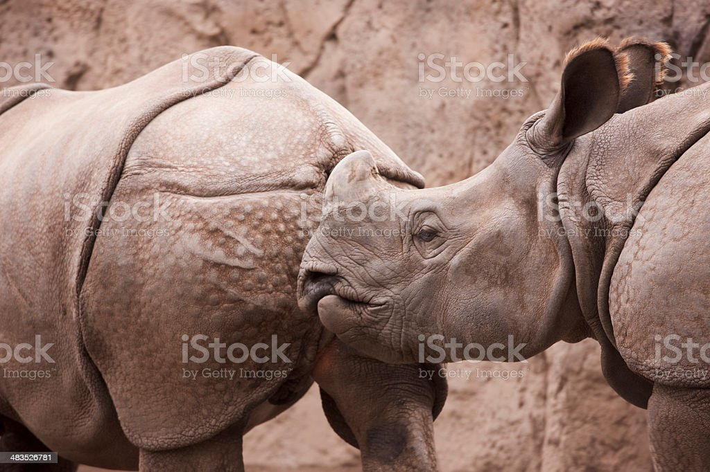 Horned Rhinoceros, Asian Animal Behavior, Close Up stock photo