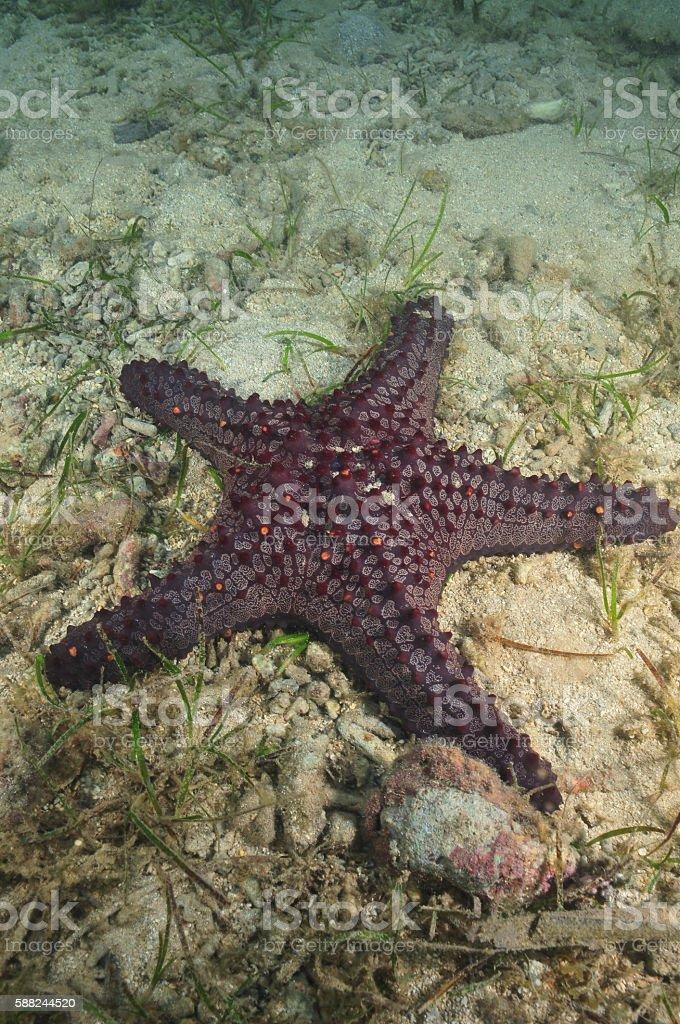 Horned sea star stock photo