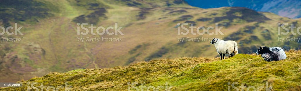 Horned sheep on mountain stock photo