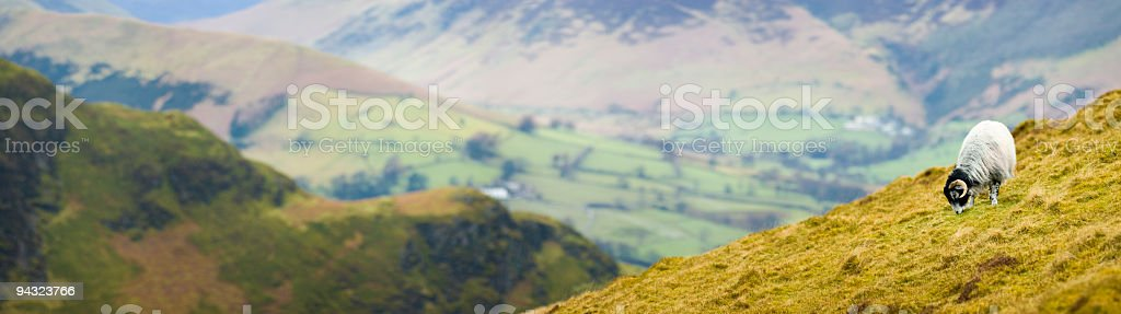 Horned sheep on mountainside stock photo