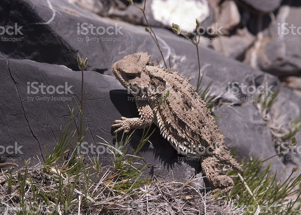 Horned Toad stock photo
