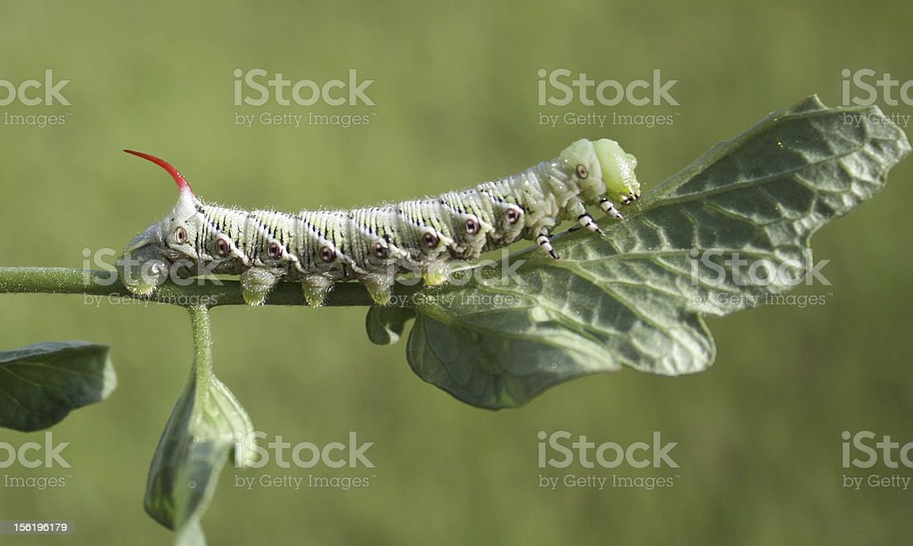 Horned Tomato Worm Eating a Leaf stock photo