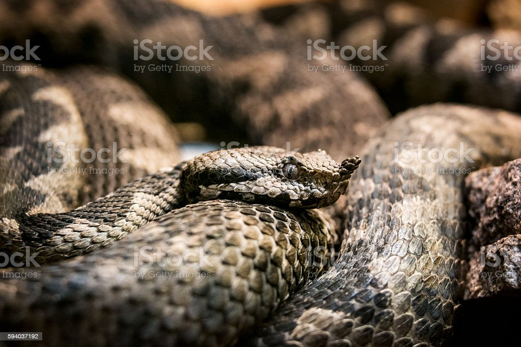 Horned viper close-up stock photo