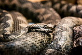 Horned viper close-up