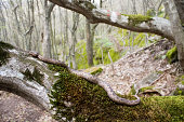 Horned viper in the forest