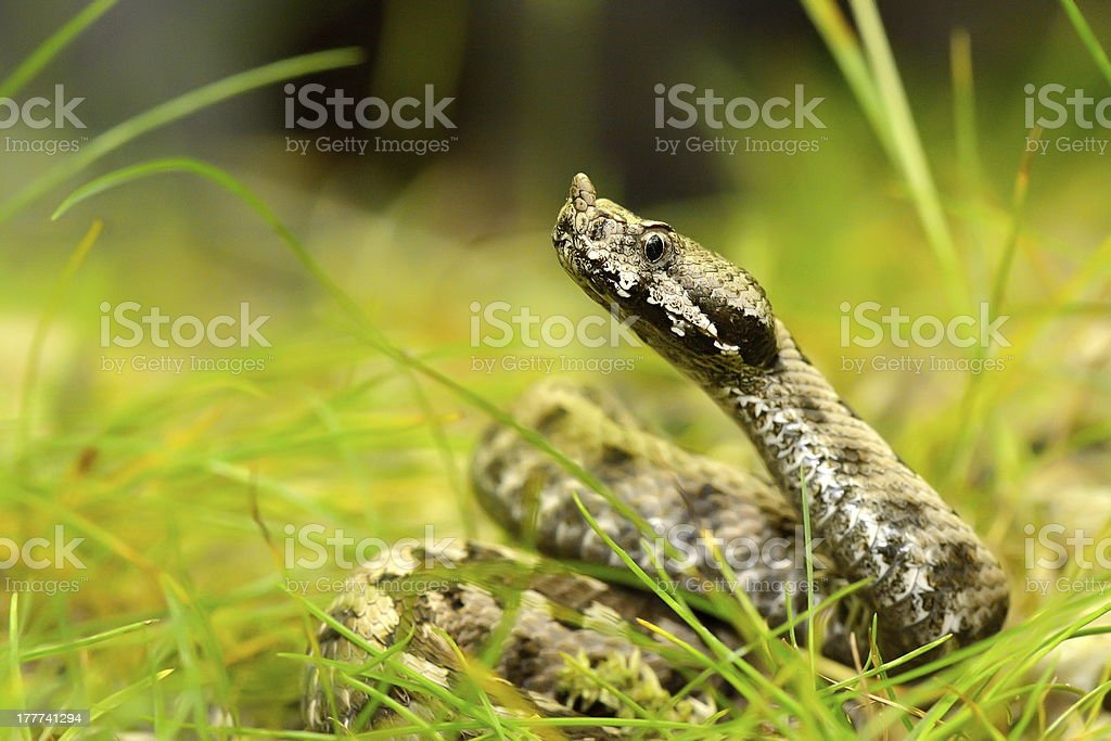horned viper outdoor stock photo
