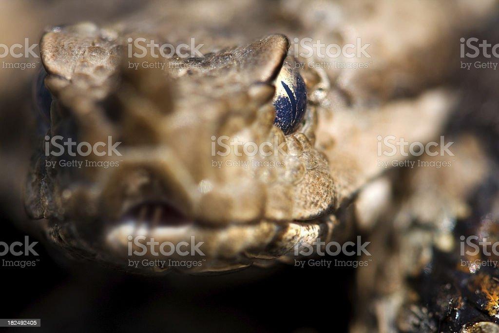 Horned viper stock photo
