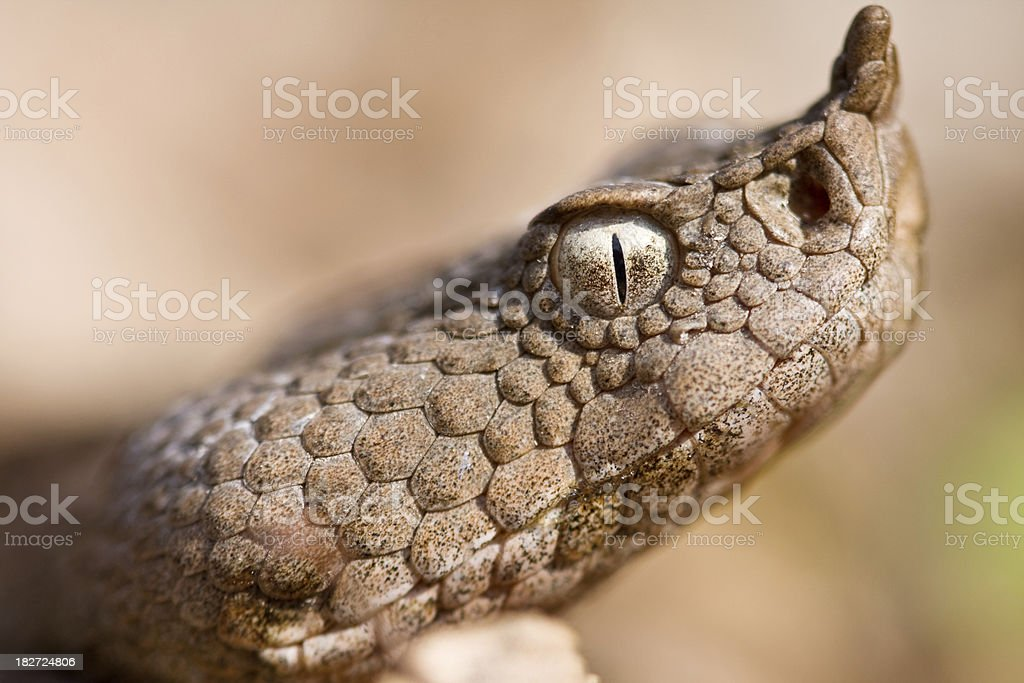 Horned viper royalty-free stock photo