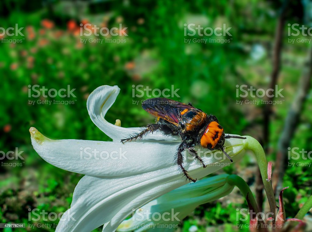 Hornet and Lilium flower royalty-free stock photo
